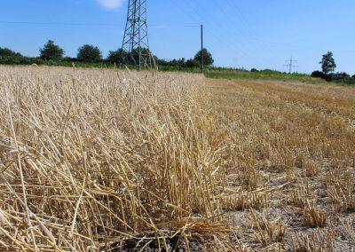 Ernteverzicht von Getreide