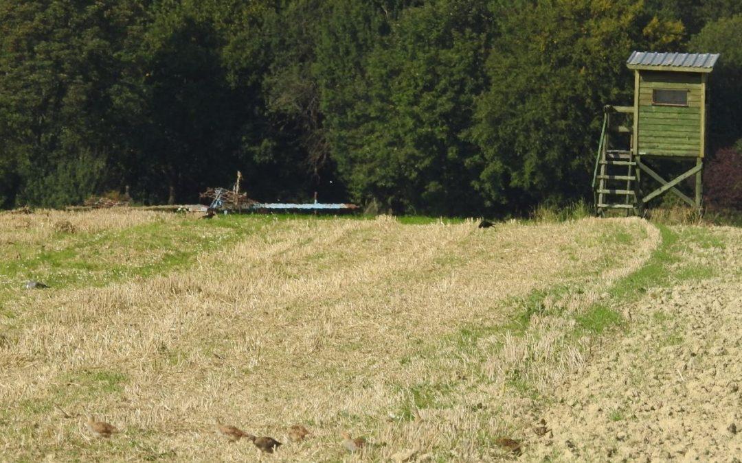 Rebhühner auf der Suche nach Struktur